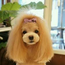 different styles of hair cuts for poodles 122 best poodle cuts clips styles images on pinterest poodles