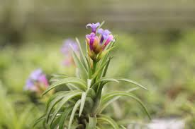 blooming plants all about those blooms the air plant blooming process air plant