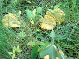 mushroom foragers page 9 backyard chickens