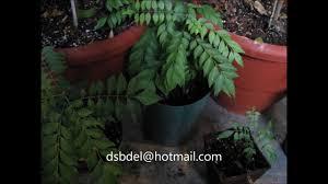 curry seeds for sale curry leaf tree seedlings murraya