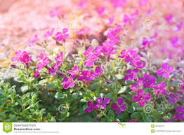 little purple flowers in the spring stock photo image 38790370