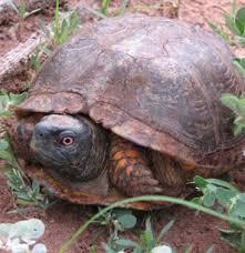 box turtle watch