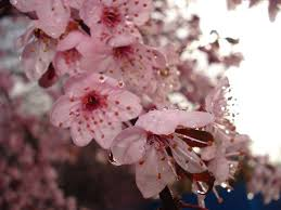 cherry flowers wallpapers flowers cherry blossom pink water drops wallpaper flowers