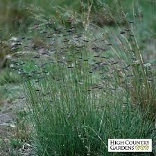 hachita blue grama grass plugs bouteloua gracilis hachita grass