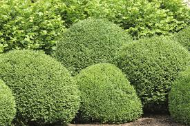 boxwood bush types u2013 what are some good buxus varieties to grow