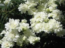white banksia rose hello hello plants u0026 garden supplies