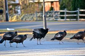 thanksgiving 2013 when focus on killingworth ct and surrounding towns the birds of