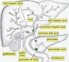 Borders Of The Heart Anatomy Giyabradiology Liver And Biliary Anatomy Digestive System