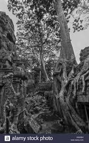 collapsed gallery with large encroaching trees ta prohm near