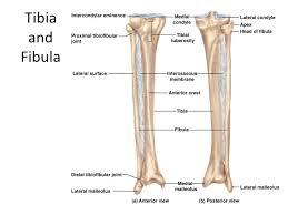 Posterior Inferior Tibiofibular Ligament Appendicular Skeleton