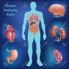 Liver Human Anatomy Set Of Human Anatomy Parts Liver Heart Kidney Lung Stomach