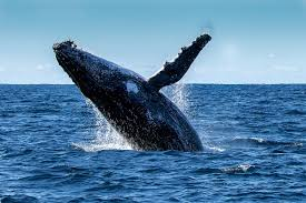 Whale Whale Watching Perth Timetable U0026 Prices Rottnest Fast Ferries