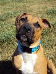 boxer dog 10 months adopt buster on other sweet and denver