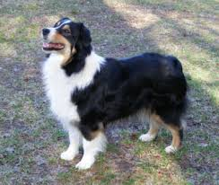 australian shepherd new hampshire bred by star australian shepherds 231 578 7215