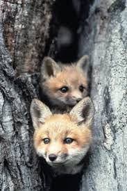64 best foxes images on pinterest nature animals wild animals
