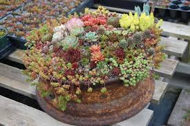 Succulent Gardens Ideas Succulents In A Tire Lawn N Garden Ideas Pinterest