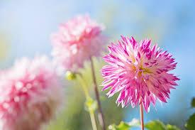 pink flower flower pink blue free photo on pixabay