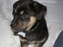 belgian shepherd labrador cross german shepherd mix with black lab puppy love pinterest