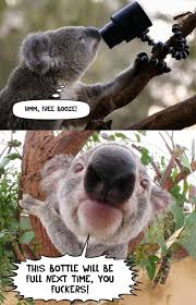 koala memes best collection of funny koala pictures