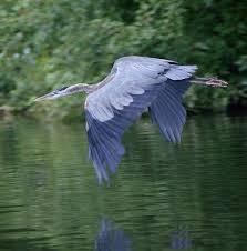 best 25 blue heron ideas on pinterest herons heron and grey heron