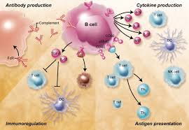 the role of b cells in the pathogenesis of graft versus host