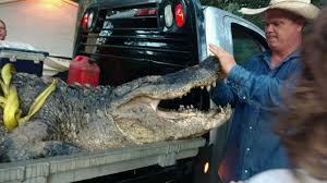 tv guide dayton exclusive nearly 14 foot long gator hunted in dayton abc13 com