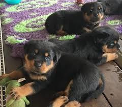 Bench Kelpie Puppies Sale Pure Kelpie Pups Wkc Registered Dogs U0026 Puppies Gumtree