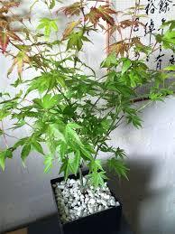 japanese maple momiji acer palmatum house plant pot hardy