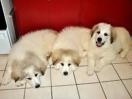 great pyrenees rescue provides wonderful dogs to good homes pyrenees guard dogs at milk honey farm