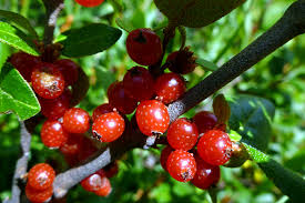 shepherdia argentea silver buffaloberry california shepherdia canadensis alchetron the free social encyclopedia