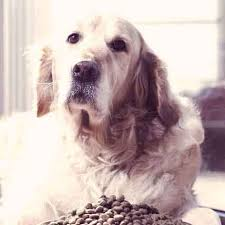 what to feed a sick dog so they u0027ll feel better petcarerx