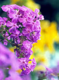 Phlox Flower Best 25 Phlox Flowers Ideas On Pinterest Creeping Phlox Ground