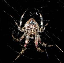 garden orb weaver spiders at spiderzrule the best site in the