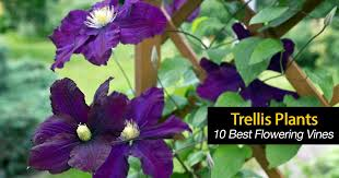 Trellis With Vines Trellis Plants What Are 10 Of The Best Flowering Trellis Vines