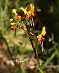 diuris corymbosa common donkey orchid the world u0027s most recently posted photos of diuris and flower