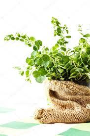 origan frais en cuisine origan frais dans un pot de fleurs photographie fotek 81272906