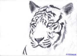 simple tiger sketch how to draw a white tiger draw a tiger in