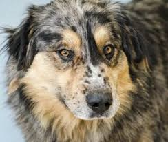 1 year old toy australian shepherd pet of the week titus a big boy prefers the company of people