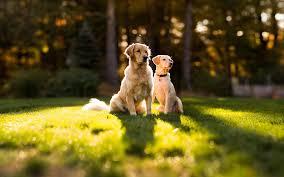 golden retriever dog wallpapers full hdq golden retriever dog