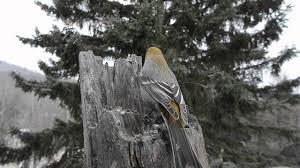 winter feeder birds in northwestern ontario youtube