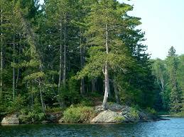 pine tree images wallpaper 1024x768 5380