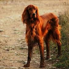 Irish Setter Male Dog Names | 75 unique names for irish setter males strong celtic and irish