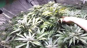 Plants Indoor by Scrog In 4x8 Grow Tent Marijuana Plants Indoor Garden Youtube