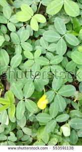 free pinto peanut is a ground cover plant photos avopix