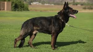 belgian shepherd kinds all about the working german shepherd dog youtube