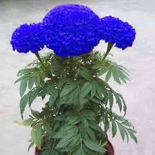 purple and blue flowers 100 pcs purple blue marigold home garden flower plant seeds ebay