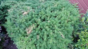 plant identification common green ornamental shrub with