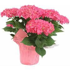 pink hydrangea hydrangea 6 pink or blue pesche s