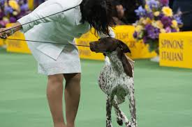 affenpinscher won westminster german shorthaired pointer wins westminster dog show cbs new york