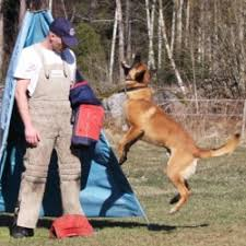 belgian shepherd world championship blackneck u0027s malinois for police security military and sports